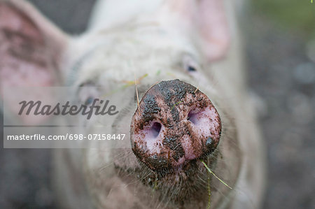 Close-up of pig's snout Stock Photo - Premium Royalty-Free, Image code: 698-07158447