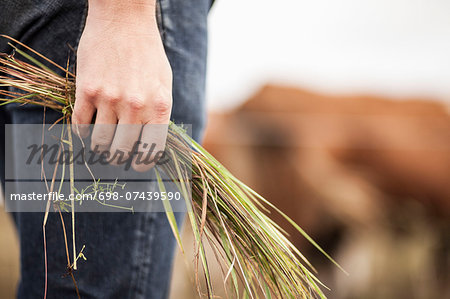 Midsection of farmer holding grass on field Stock Photo - Premium Royalty-Free, Image code: 698-07439590