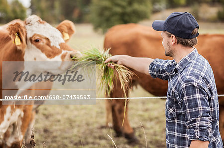 Mid adult farmer feeding cow in field Stock Photo - Premium Royalty-Free, Image code: 698-07439593