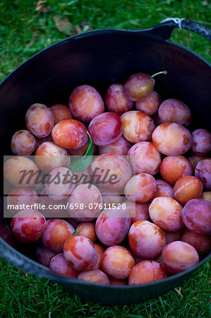 Basket full of freshly harvested plums Stock Photo - Premium Royalty-Free, Image code: 698-07611528