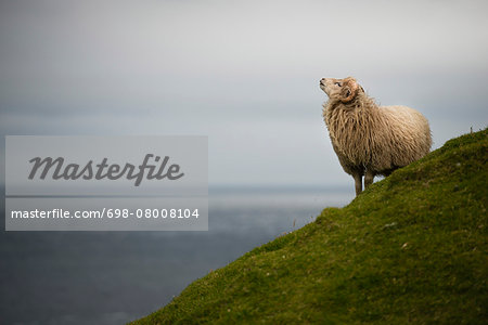 Sheep standing on grassy hill against sea and sky Stock Photo - Premium Royalty-Free, Image code: 698-08008104
