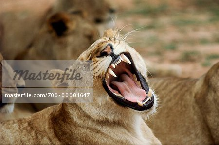 Lioness Growling Kruger National Park South Africa Stock Photo - Rights-Managed, Image code: 700-00001647