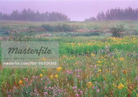 Goldenrod, Aster, and Thistle Near Sherwood Park, Alberta Canada Stock Photo - Rights-Managed, Image code: 700-00014383