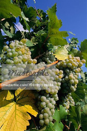 Close-Up of Grapes Austria Stock Photo - Rights-Managed, Image code: 700-00016684