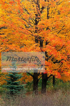 Maple Trees in Autumn High Park Toronto, Ontario, Canada (Part of 4 Seasons Series)