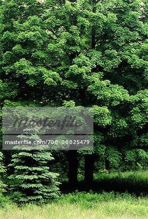 Maple Trees in Summer High Park Toronto, Ontario, Canada (Part of 4 Seasons Series)