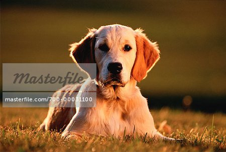 Portrait of Golden Retriever Lying in Field Stock Photo - Rights-Managed, Image code: 700-00031100