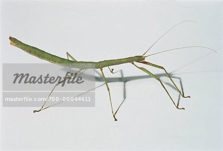 Close-Up of Indian Walking Stick Stock Photo - Rights-Managed, Image code: 700-00044611