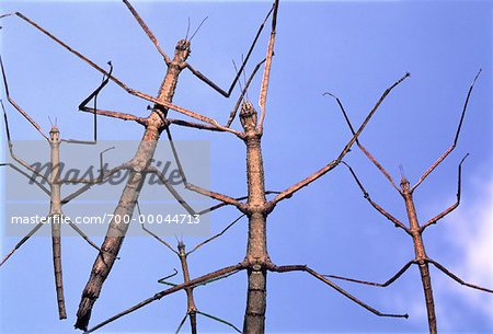Close-Up of Walking Sticks Stock Photo - Rights-Managed, Image code: 700-00044713