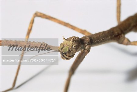 Close-Up of Walking Stick Stock Photo - Rights-Managed, Image code: 700-00044714