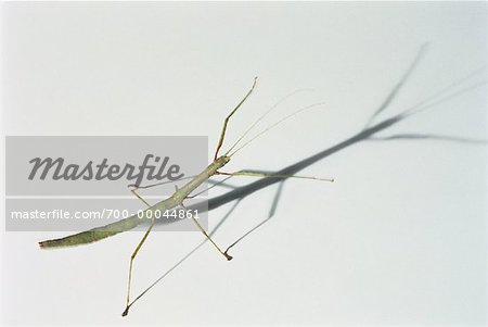 Close-Up of Indian Walking Stick Stock Photo - Rights-Managed, Image code: 700-00044861