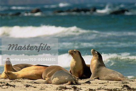 Australian Sea Lions on Beach Kangaroo Island, Seal Bay South Australia, Australia