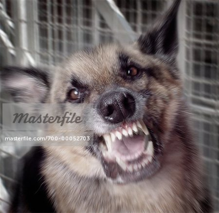 Close-Up of Snarling German Shepherd