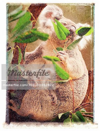 Koala with Joey Eating Leaves in Tree Queensland, Australia