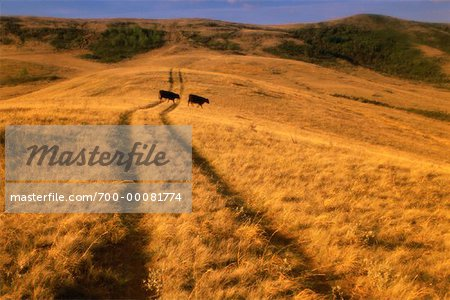 Tire Tracks and Cows in Field Grasslands National Park Saskatchewan, Canada Stock Photo - Rights-Managed, Image code: 700-00081774