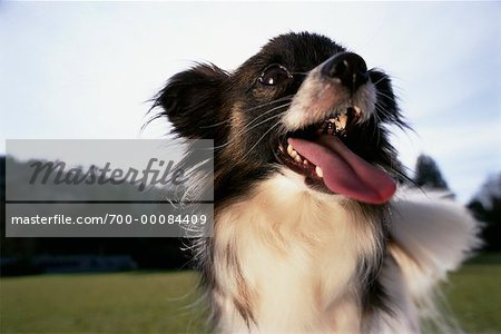 Portrait of Papillon Outdoors Stock Photo - Rights-Managed, Image code: 700-00084409
