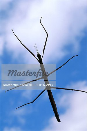 Close-Up of Walking Stick Insect Stock Photo - Rights-Managed, Image code: 700-00163993