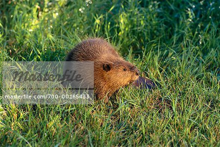 Beaver Stock Photo - Rights-Managed, Image code: 700-00165433
