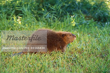 Beaver Stock Photo - Rights-Managed, Image code: 700-00165434