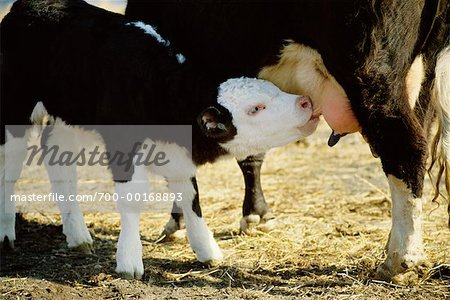 Hereford Cow Feeding Calf Stock Photo - Rights-Managed, Image code: 700-00168893