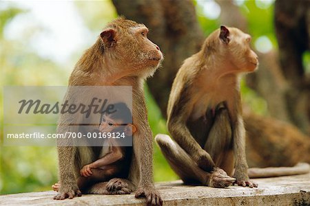 Family of Monkeys Stock Photo - Rights-Managed, Image code: 700-00169124