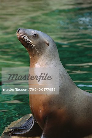 Stellar's Sea Lion Stock Photo - Rights-Managed, Image code: 700-00177959