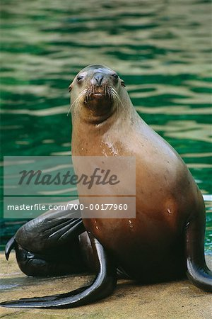 Stellar's Sea Lion Stock Photo - Rights-Managed, Image code: 700-00177960