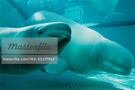 Beluga Whales Stock Photo - Rights-Managed, Image code: 700-00177962