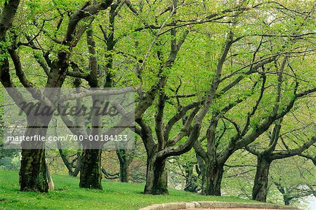 Grove of Trees in Springtime High Park Toronto, Ontario, Canada Stock Photo - Rights-Managed, Image code: 700-00184133