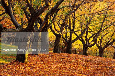 Grove of Trees in Autumn High Park Toronto, Ontario, Canada Stock Photo - Rights-Managed, Image code: 700-00184134