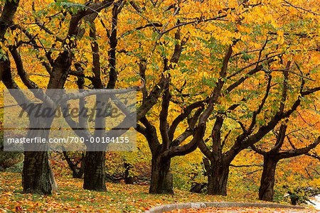 Grove of Trees in Autumn High Park Toronto, Ontario, Canada Stock Photo - Rights-Managed, Image code: 700-00184135