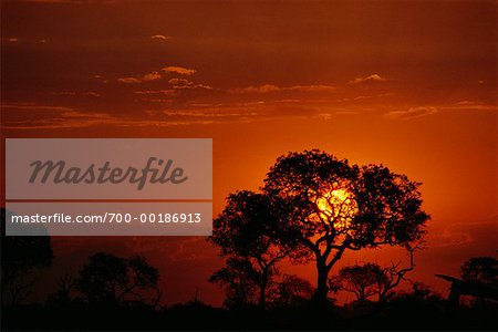 Tree Silhouette at Sunset Kruger National Park Transvaal, South Africa Stock Photo - Rights-Managed, Image code: 700-00186913