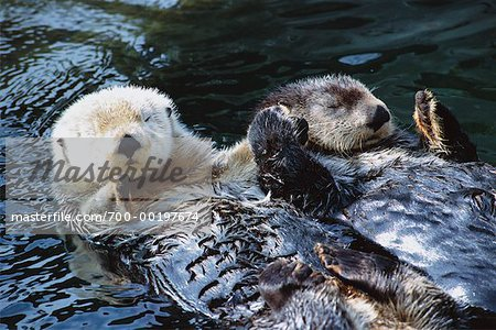 Sea Otters Stock Photo - Rights-Managed, Image code: 700-00197674