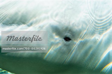 Close-Up of Beluga Whale Stock Photo - Rights-Managed, Image code: 700-00281926