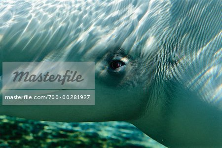 Beluga Whale Stock Photo - Rights-Managed, Image code: 700-00281927