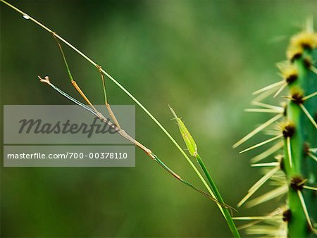 Stick Insect Stock Photo - Rights-Managed, Image code: 700-00378110
