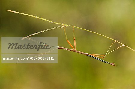 Stick Insect Stock Photo - Rights-Managed, Image code: 700-00378111