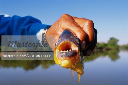 Tour Guide Showing a Piranah, Pantanal, Brazil Stock Photo - Rights-Managed, Image code: 700-00424411