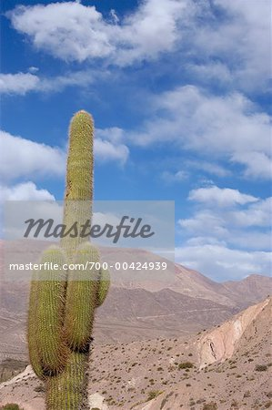Cardones Cactus in Desert, Salta Province, Argentina Stock Photo - Rights-Managed, Image code: 700-00424939