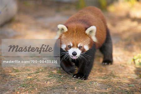 Red Panda Stock Photo - Rights-Managed, Image code: 700-00430116