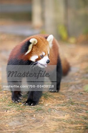 Red Panda Stock Photo - Rights-Managed, Image code: 700-00430118