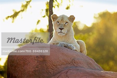 Lion Stock Photo - Rights-Managed, Image code: 700-00430120