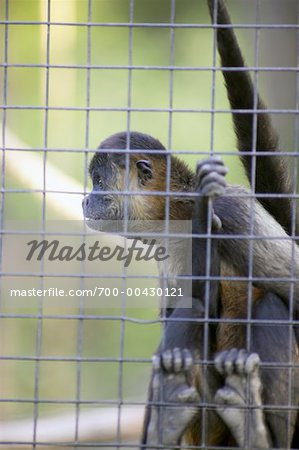 Spider Monkey Stock Photo - Rights-Managed, Image code: 700-00430121