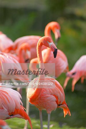 Flamingoes Stock Photo - Rights-Managed, Image code: 700-00430122