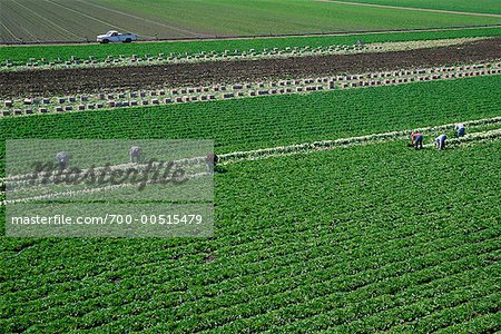 Lettuce Field and Workers, Salinas, California, USA