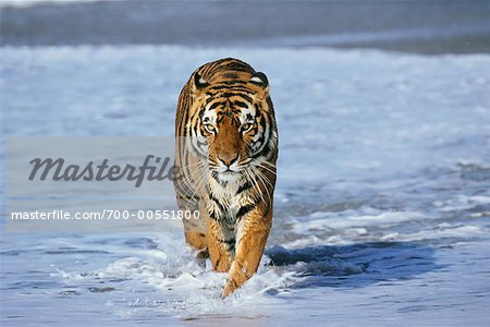 Bengal Tiger Running through Water    Stock Photo - Premium Rights-Managed, Artist: F. Lukasseck, Code: 700-00551800