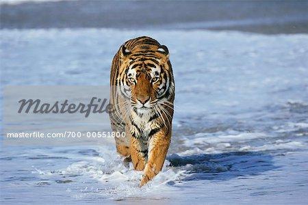 Bengal Tiger Running through Water
