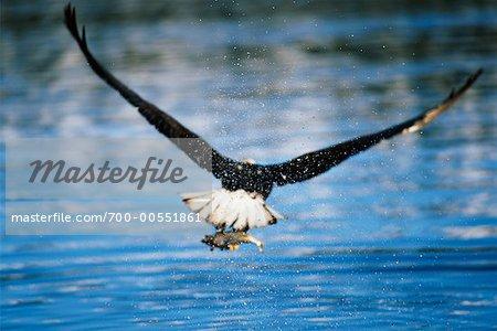 Bald eagle catching fish homer alaska usa stock photo premium