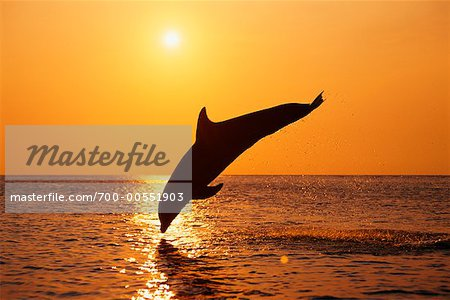 Dolphins Jumping In The Sunset Hd