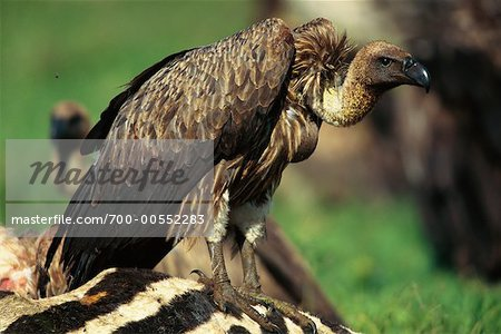 White-Backed Vulture Sitting on Zebra Carcass, Serengeti National Park, United Republic of Tanzania